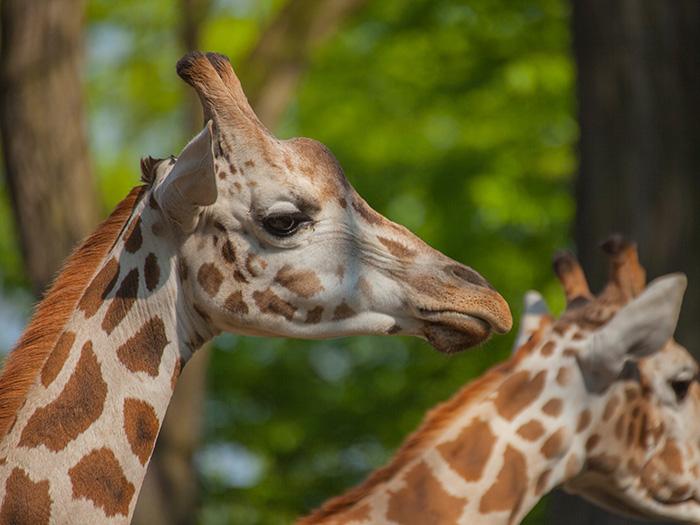 Wie Viele Wirbel Hat Eine Giraffe